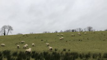 'Ewes that are in good condition at mating time are going to give you more lambs'