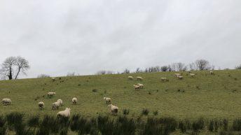 在交配时间处于良好状态的母羊将会给你更多羊羔'