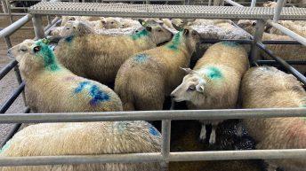 羊贸易:价格回收继续达到6.40欧元/公斤
