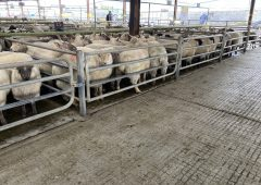 Sheep prices: Fierce competition for numbers sees prices push on once more
