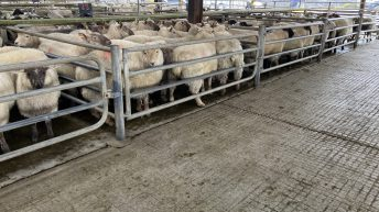 Pics from the mart: Improved trade for finished hoggets seen at Athenry