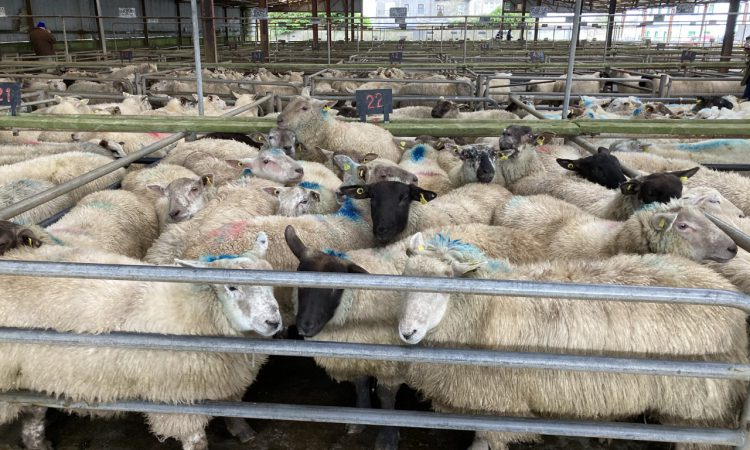 Sheep marts: Prices of €150-155/head for hoggets seen regularly at sales