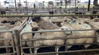 Sheep marts: Solid demand all round, as prices for heavy hoggets creep up