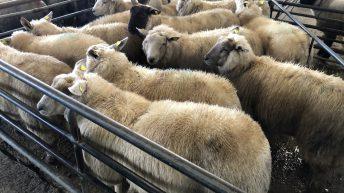 """羊交易:""""正如你""""的基本报价"""