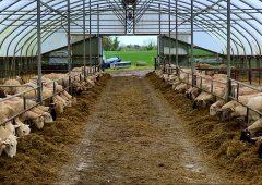绵羊焦点:在Salesian农业学院的羔羊季节准备