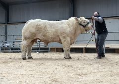 Charolais bulls topped at €7,100 – but mart guidelines cause 'frustration'