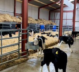 Birth to weaning management of autumn-born calves