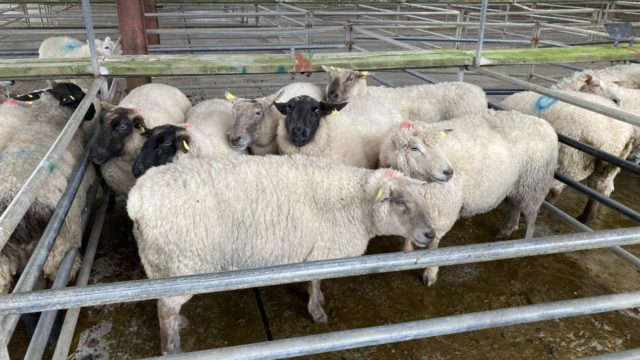 Sheep marts: Cull ewes grab the headlines, as small numbers of spring lambs appear