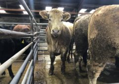 'A big jump' in lighter store cattle prices at Dungarvan Mart this week