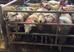 Sheep trade: Prices reach as high as €7.20/kg