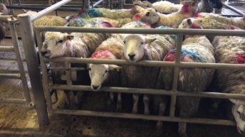 羊贸易:价格高达7.20欧元/千克