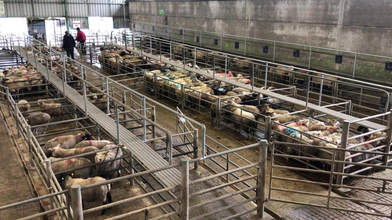 Hoggets sell up to €168/head at Ennis Mart on Monday