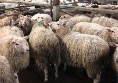 Sheep kill falls but prices remain hot