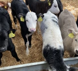 Green Acres: The relationship between calf purchase price and carcass value