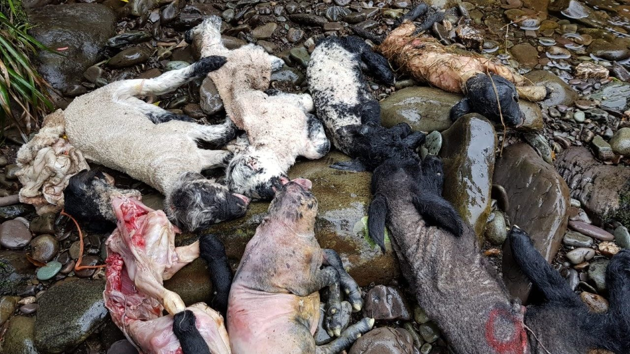 Kerry County Council appeals for information on lambs found dumped in river
