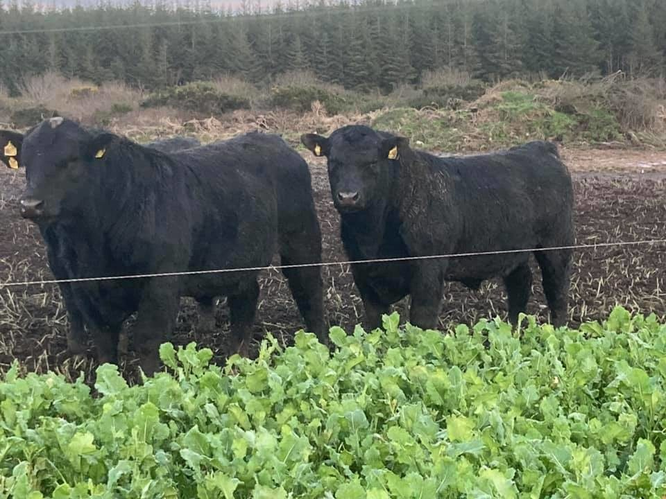 Top bulls to go under hammer at online Angus sale this week