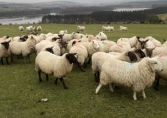176 sheep stolen from Wicklow lands last year – Gardaí