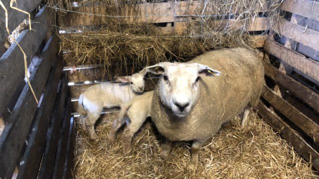 Identifying and marking problem ewes this lambing season