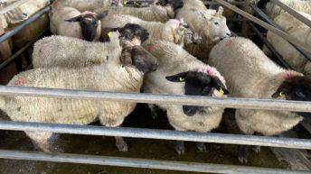 羊贸易:Hogget价格为7.50欧元/公斤
