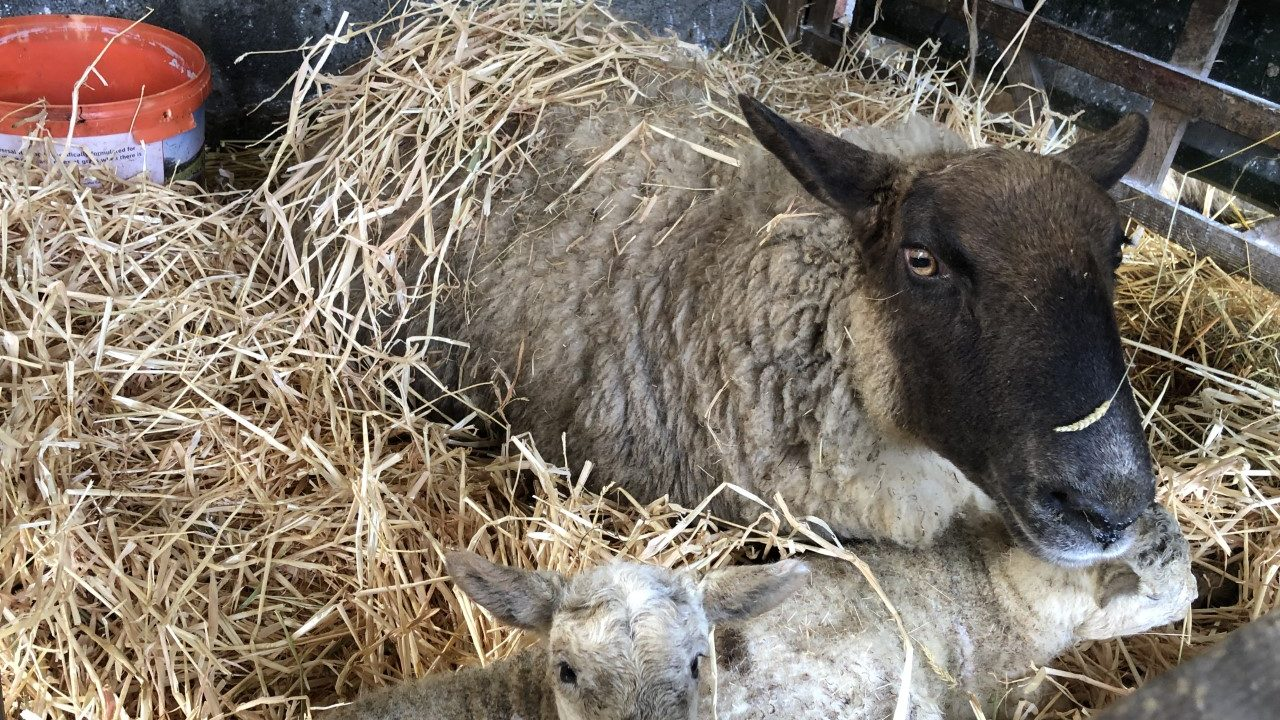 Managing ewes and lambs during adverse weather conditions
