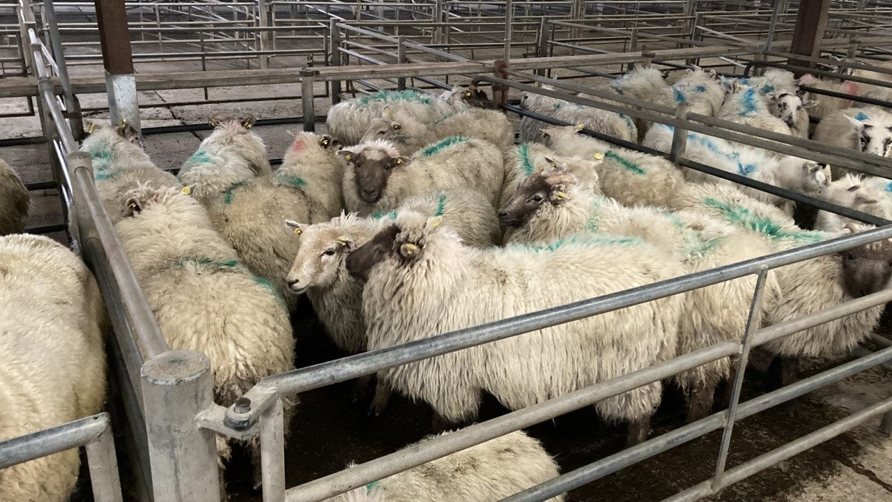 Hogget prices continue to reach new highs at marts