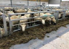 Ewe management: Avoiding prolapsing issues