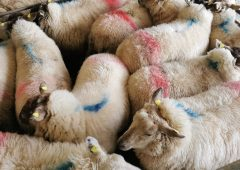 Sheep trade: Prices for hoggets at €7.00/kg