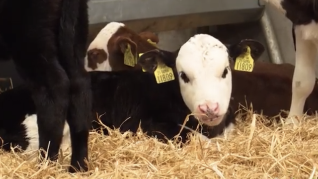 Dairy Beef Calf measure – what's involved?
