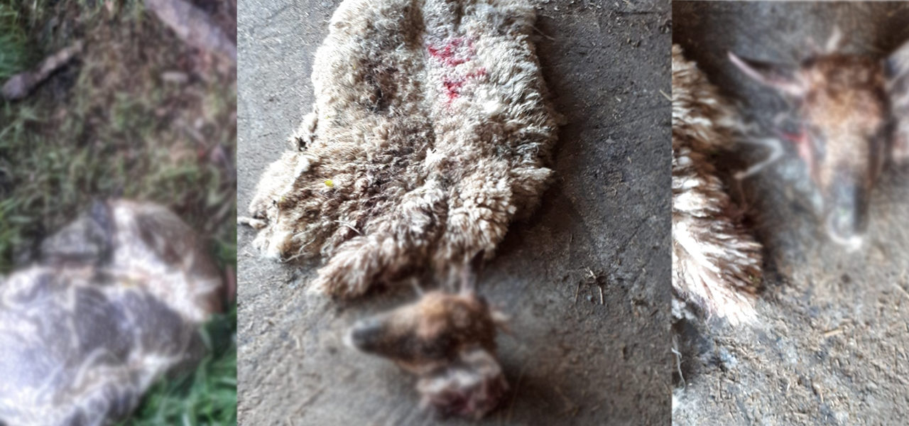 Graphic images: Ewe skinned and butchered in Co. Kildare