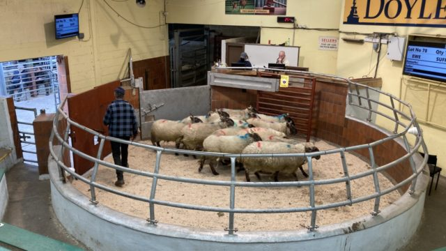 Pics from the mart: Spring lambs easier, but ewe prices improve at Blessington