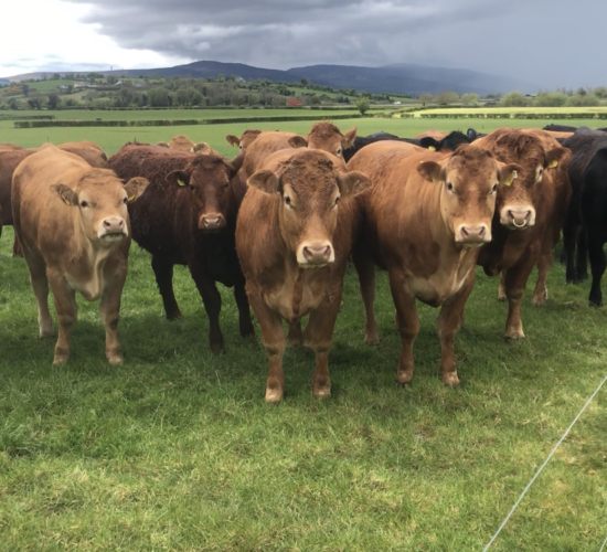 Beef Focus: Limousin genetics come to the fore in this 90-cow suckler herd