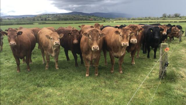牛肉Focus: Limousin genetics come to the fore in this 90-cow suckler herd