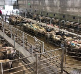 Hoggets sell to €186 at Ennis Mart on Monday
