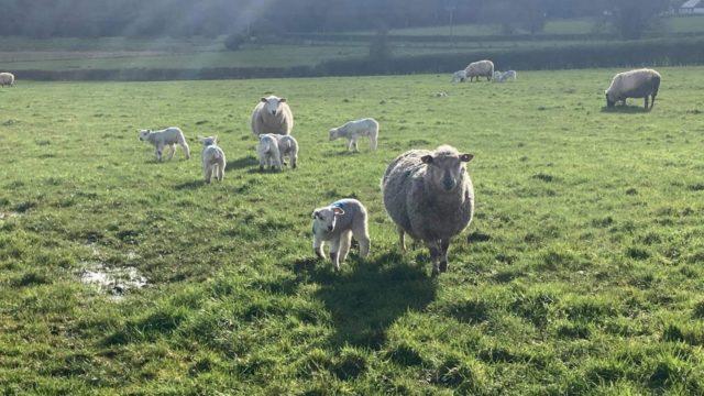 Sheep grassland management: Establishing grazing groups