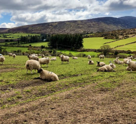 Sheep Focus: Lambing 300 ewes in Co. Carlow