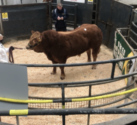 Prices peak at €6,600 – with a strong average for Limousin bulls in Athenry