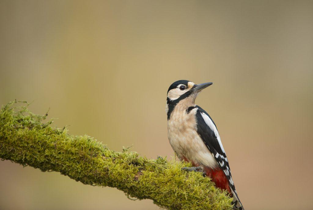 Woodpecker. Image source: Ben Andrews, RSPB Images