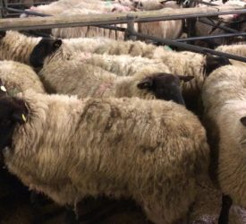 Sheep trade: Factories looking to take the heat out of the trade