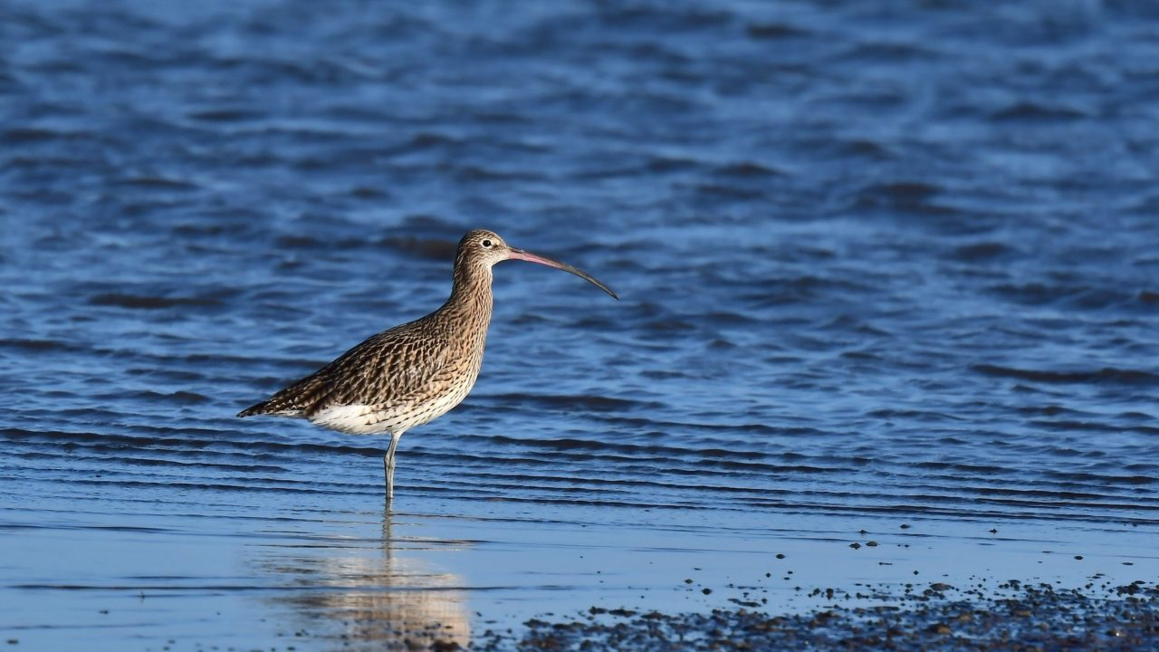 'Huge positive momentum' for curlew conservation in farming community