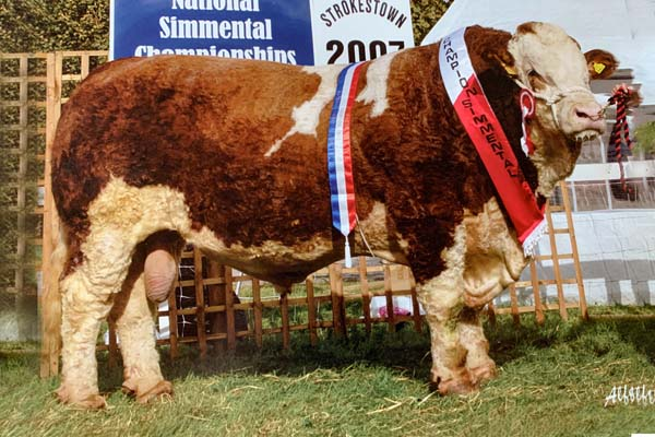 Blast from the past; old Simmental sires available once again