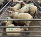Spring lamb prices up €40/head on this time last year