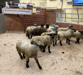 Spring lamb prices drop back anywhere from €5-10/head at marts