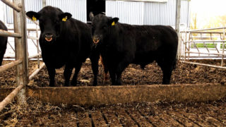 Beef Focus: Agriland visits the Gigginstown Angus herd