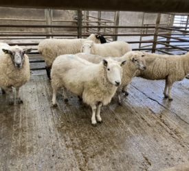 Cull ewe trade eases: Spring lamb and hoggets prices remain firm