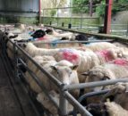 Cull ewes sell for over €200 at Athenry Mart