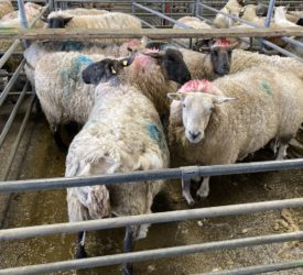 Sheep marts: Cull ewes break the €200 mark at sales