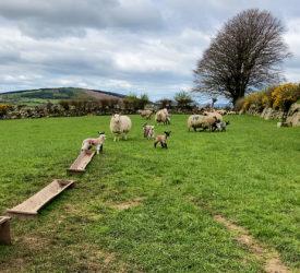 Parasite challenges in lambs: Nematodirus and coccidiosis