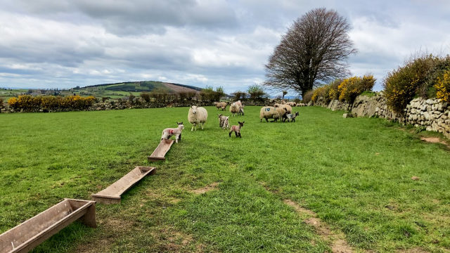 Parasite challenges in lambs: Nematodirus and coccidiosis