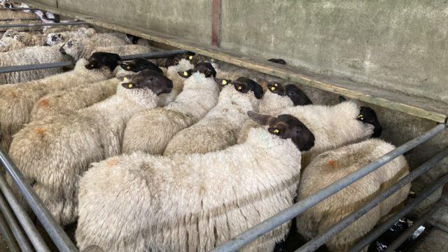 Sheep marts: All types of sheep remain a strong trade at sales
