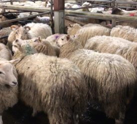 Spring lambs and hoggets breach the €180 mark at Ballybay